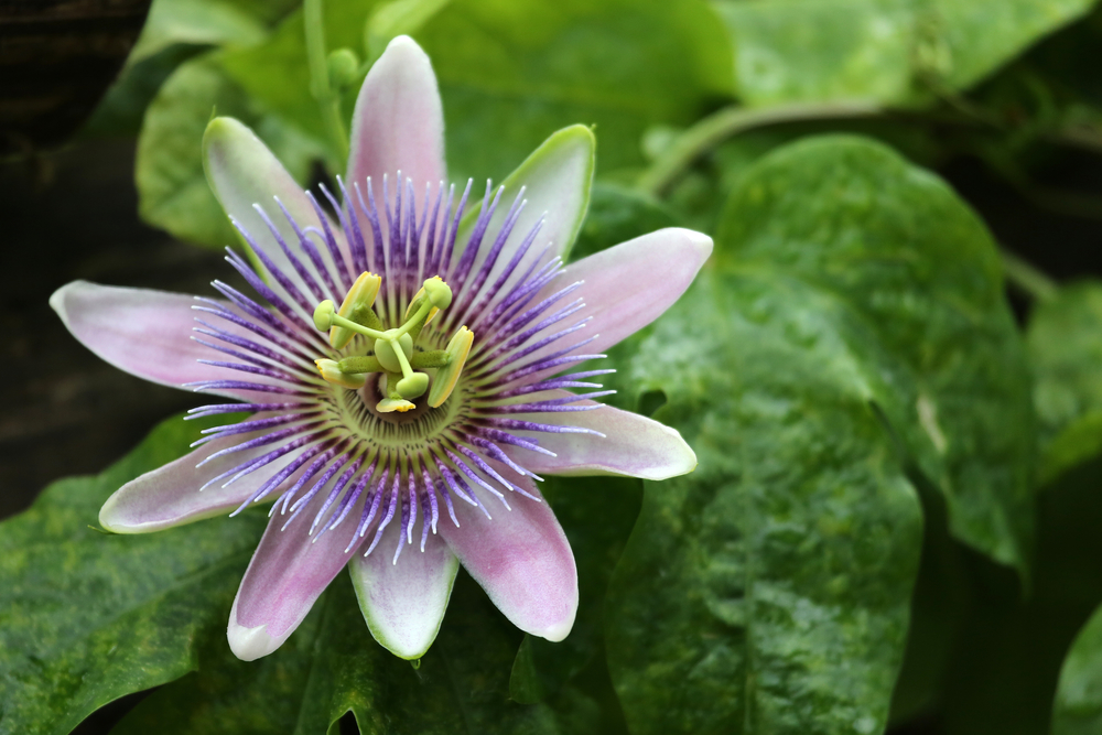 Passion Flower Does It Really Calm Anxiety Aihcp
